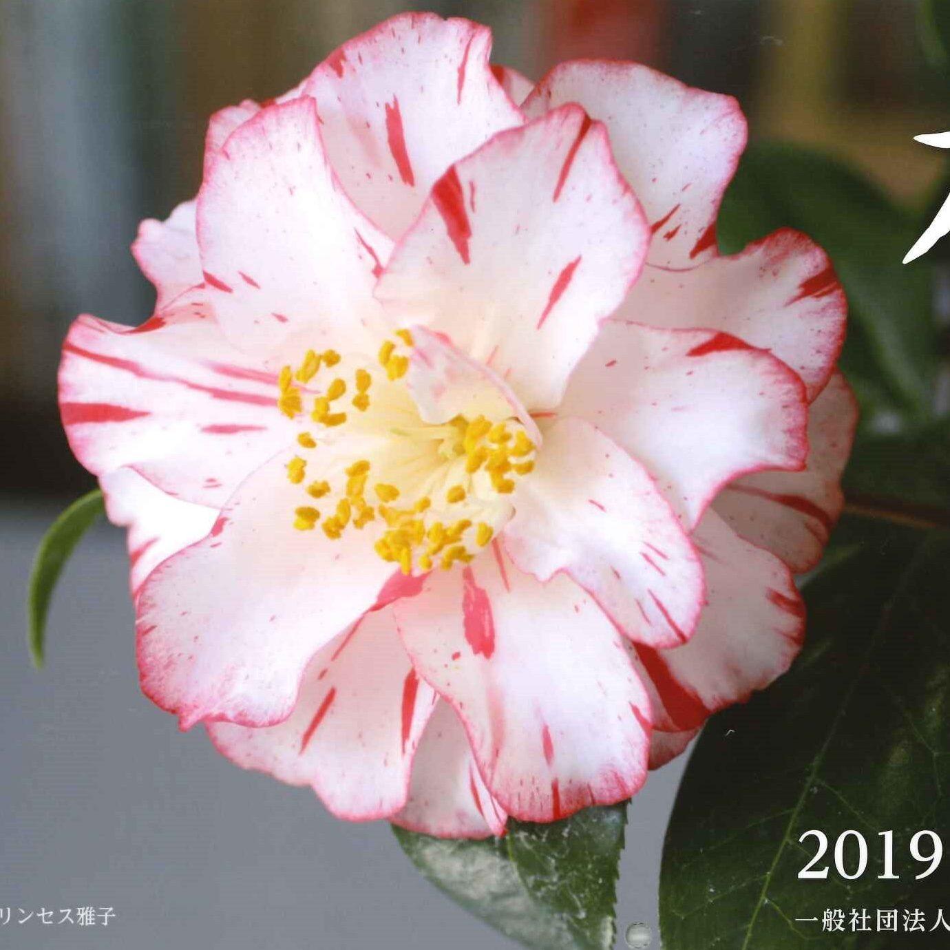 椿カレンダー2019表紙正方形