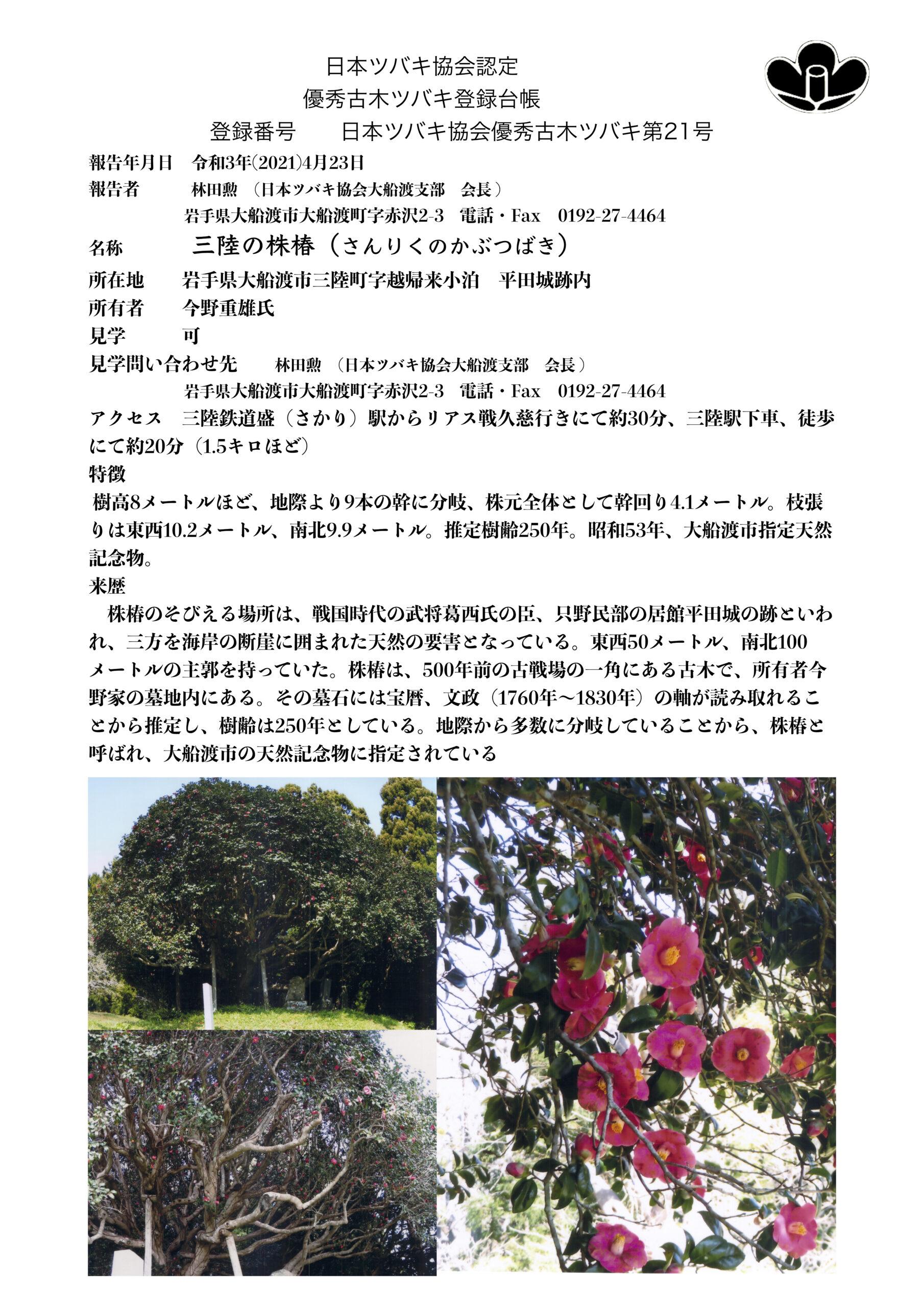 優秀古木登録21号/三陸の株椿